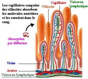 microvillosité